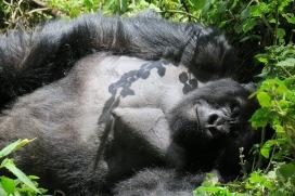 Silver-back gorilla in Rwanda
